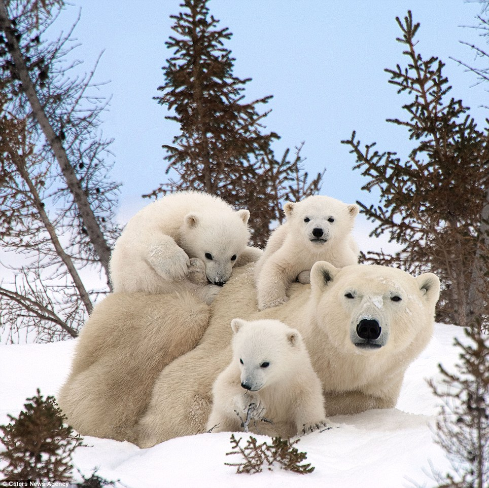 He is believed to be one of around 500 people who have seen polar bear cubs venturing out of their homes for the first time, first hand