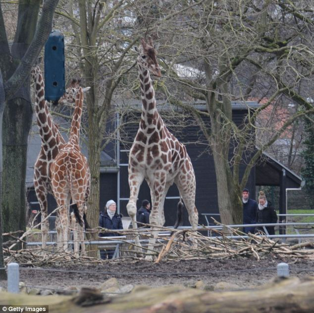 The animal was deemed 'surplus' before it was put down by zookeepers in Copenhagen