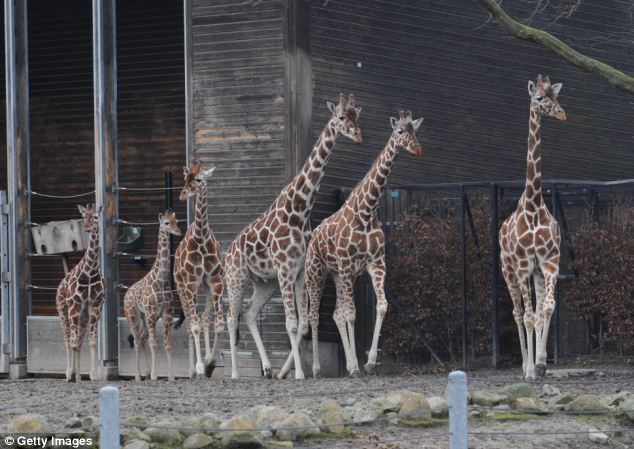 The zoo is part of a European breeding programme for giraffes and is bound by rules over inbreeding to keep animals healthy