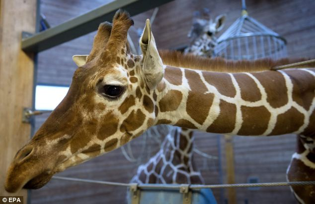 Copenhagen Zoo's giraffe Marius who was put down by the zoo authorities in a controversial action that has drawn widespread condemnation