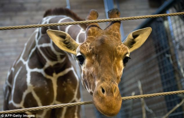 Perfectly healthy: Another Danish zoo may put down one of its giraffes just days after Marius (above) was shot dead and autopsied in the presence of visitors at Copenhagen Zoo