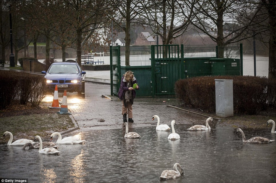 Swimming along: A woman photographs swans in floodwater blocking the entrance to a car park near the banks of the River Severn in Worcester
