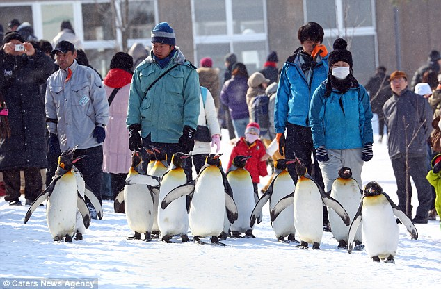 The 30-minute walk is designed to keep the penguins fit and healthy and fend off obesity during the winter months when the birds tend to be less active and therefore accumulate more fat