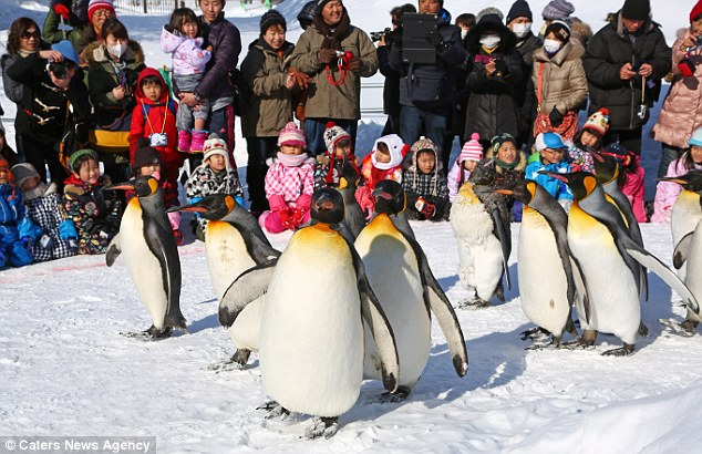 If the idea of exercising in public brings you out in a cold sweat, spare a thought for these portly penguins who are papped daily as they power walk their way to a slimmer physique