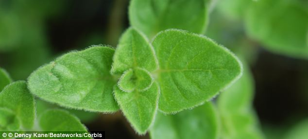 Carvacrol, a plant compound in the herb oregano, strips away the tough protein coat around the virus