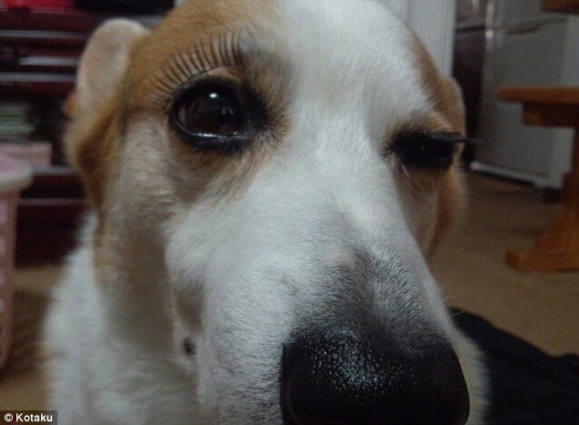 Barking mad: This pet looks as though it is taking its owner to task for equipping it with fake eyelashes