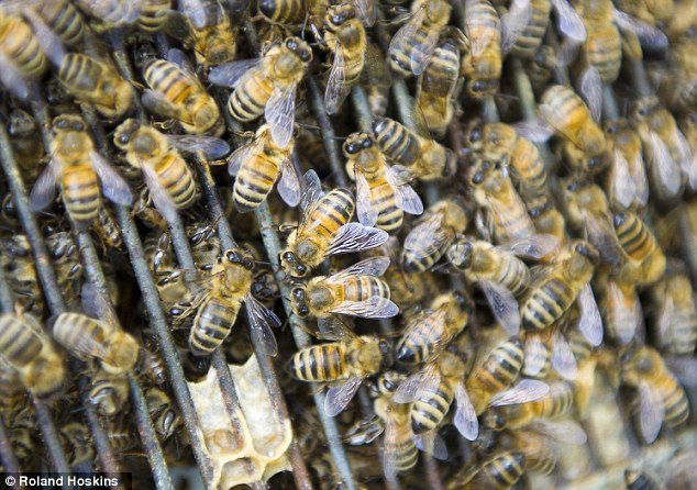 Devastation: A parasitic mite that is passed from honeybee to bumblebee is causing bees to become flightless, leading to death, which has meant rapid decline in their numbers,