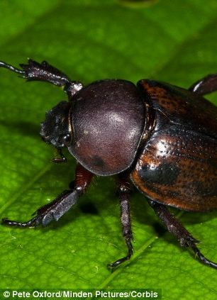 Dung beetles are included in the sustainable snacks