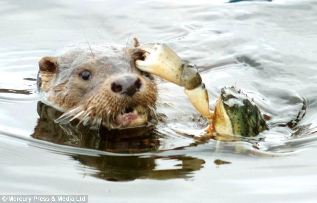 Ouch! This otter got a right eyeful when a vicious crab grabbed hold of him