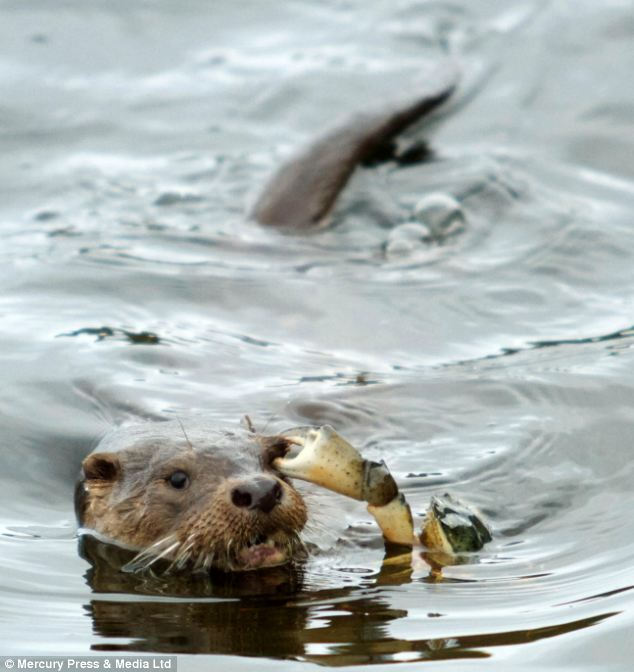 Painful: Mr Sorlie said the sea otter looked desperate for help as the crab hung on to his eye