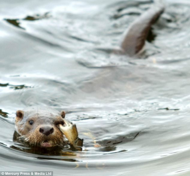 Grip: Mr Sorlie said: 'The otter was swimming straight towards me and I could see that the crab had a really good grip on its eye'