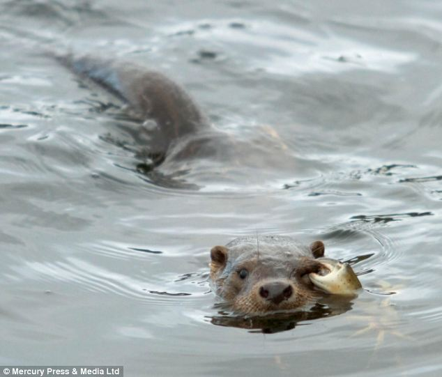Vicious: No doubt the otter will think twice before crossing paths with a crab in the future