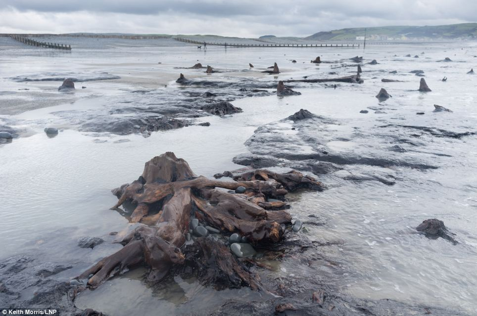 Scientists came to Borth because after intense storms there is nearly always something uncovered as peat washes away, and then made this discovery