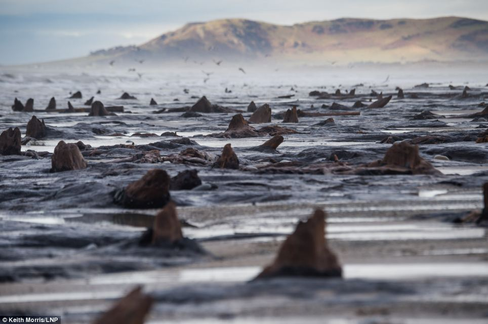 Scientists knew the forest was there as stumps could sometimes be seen at low tide, but these new remains have appeared further north than the previous sightings