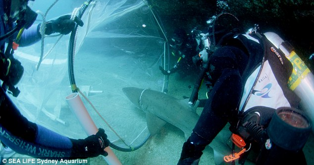 Second chance: The 1.5 metre grey nurse shark enters the 'sock' so it can be brought to the water's surface as part of the daring procedure to free it