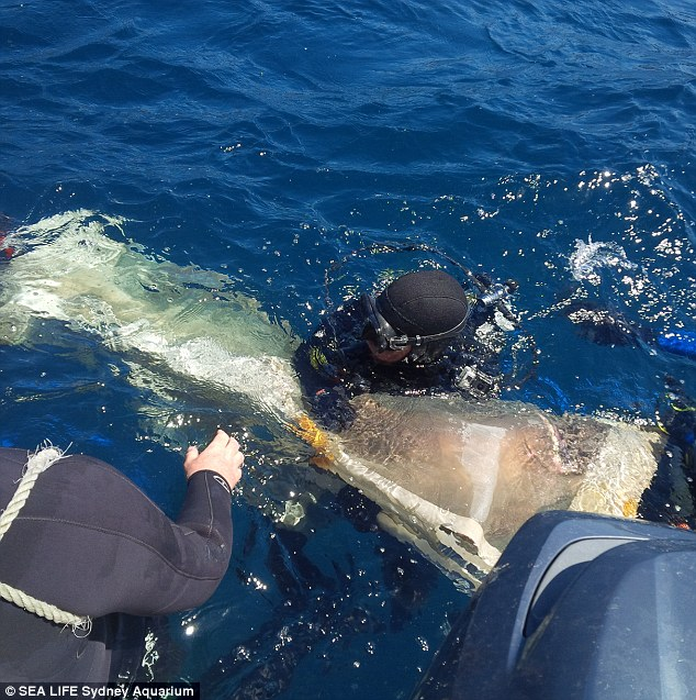 Risky business: The shark is lifted to the surface of the water so the elastic cord can be removed from around its neck and gills and give it a second chance at life