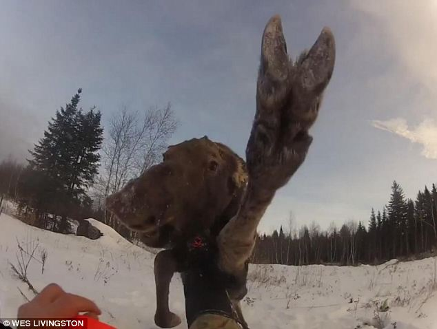 Right cross: The baby moose swings at forestry worker Wes Livingston as they face off in Maine wilderness