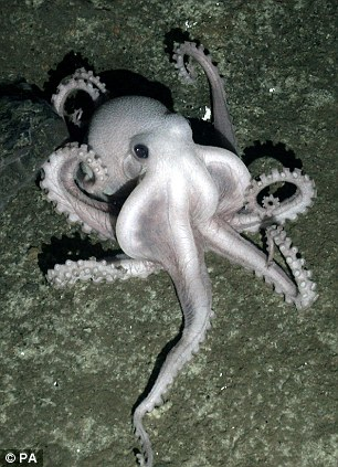 The octopus is in a state of rapid eye movement, changing colour and twitching. Could it be dreaming?