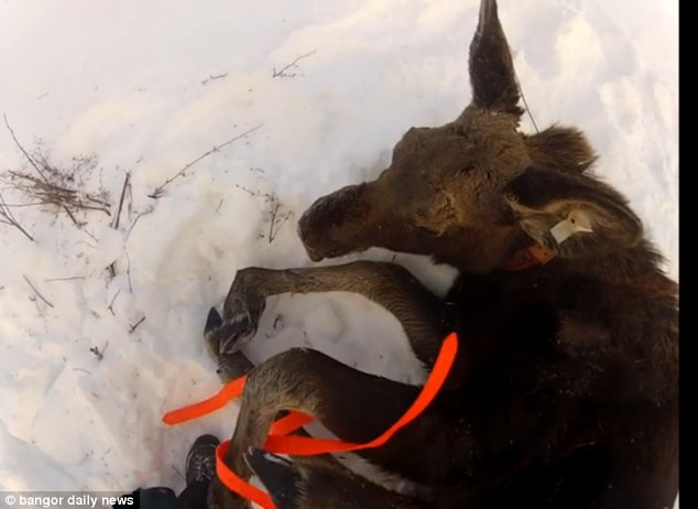 Wes then goes to untie the orange string keeping the baby moose on the ground