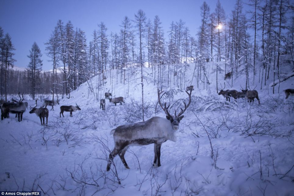 Twilight: A full moon rising above a herd of reindeer a few minutes after they returned home from a day foraging in the forest