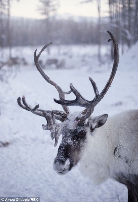 Despite his isolation, Vladimir cites his reindeers' companionship as his reason for enjoying life in the wilderness