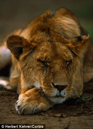 Lions sleep for more than eight hours a day