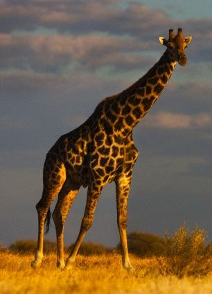 Giraffes sleep for two hours a day