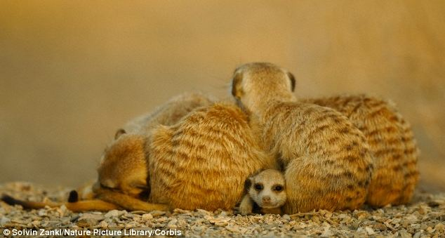 The documentary will show meerkats in their nests sleeping with an ear open for danger, despite being piled on top of each other in a sleep heap.  Pictured is a stock image of sleeping meerkats with a wide-awake juvenile peeking out