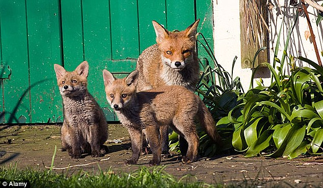 For many the fox is a creature that needs protecting rather than exterminating