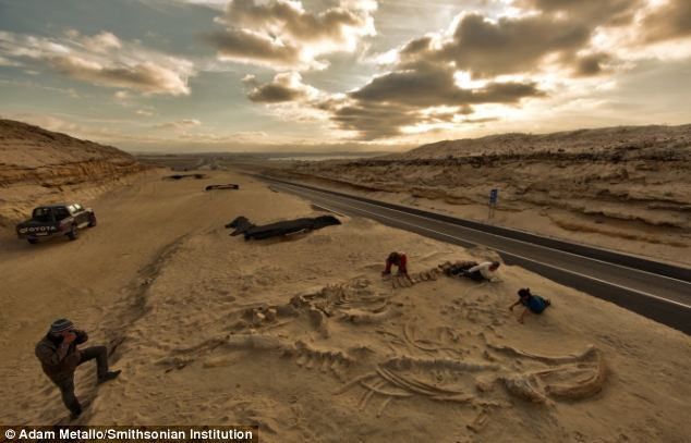 Chilean and Smithsonian paleontologists are pictured studying several fossilized whale skeletons at Cerro Ballena, also known as 'Whale Hill'