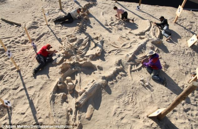 Pictured is a graveyard of whales found beside the Pan-American Highway in Chile. Scientists now think they can explain how so many of the animals came to be preserved in one location millions of years ago