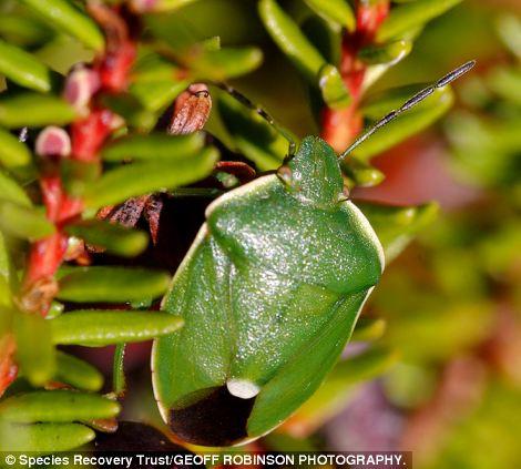 Chlorochroa juniperina became extinct in 1925 due to a decline of juniper, its host