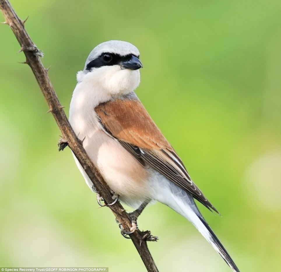 The Red-backed shrike became extinct in 1988 due to habitat loss, agricultural intensification and egg collecting. These birds, butterflies, beasts and bugs are among hundreds of species which have become extinct in England over the last 200 years