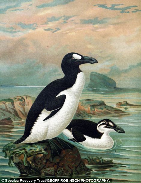 The Great auk was a flightless bird which grew up to 85cm tall and became globally extinct in the mid-19th century