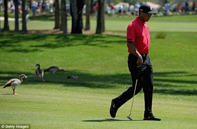 Some way to go: Woods is still four Majors behind Jack Nicklaus' haul of 18