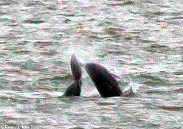 A woman has captured on film the horrific moment two porpoises were attacked and killed 'for fun' by dolphins