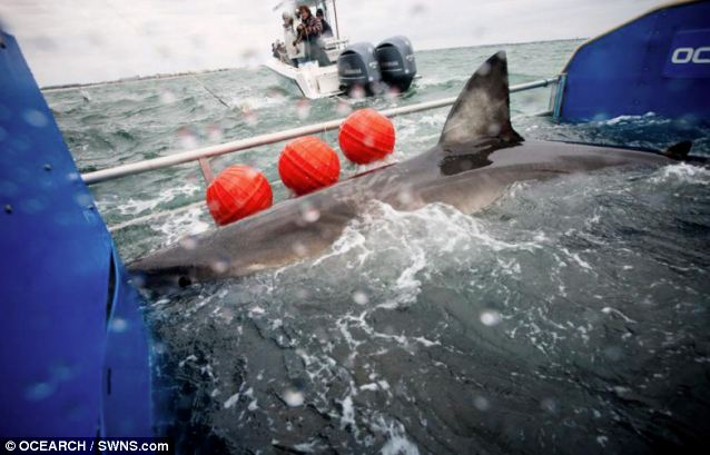 Deadly cargo: Tagging the shark (pictured) was a feat in itself, with heavy machinery used to hoist Lydia from the water in order to fit the tracking device