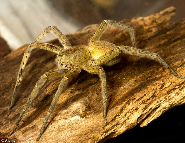 Scary: A file picture of a fully-grown adult Brazilian Wandering Spider. Guinness World Records lists it as the most toxic spider on earth and its venom is said to be 30 times more powerful than that of a rattlesnake