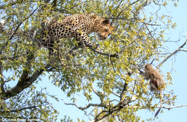Hello lunch, let's dance: Neither leopard nor monkey makes a move as they face off in the top of the marula tree in Sabi Sands, South Africa