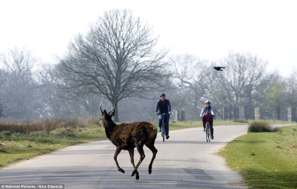 A deer frolics in Richmond Park as warm weather hit the capital. Supermarkets said sales of burgers, sausages and barbecues have soared in recent days