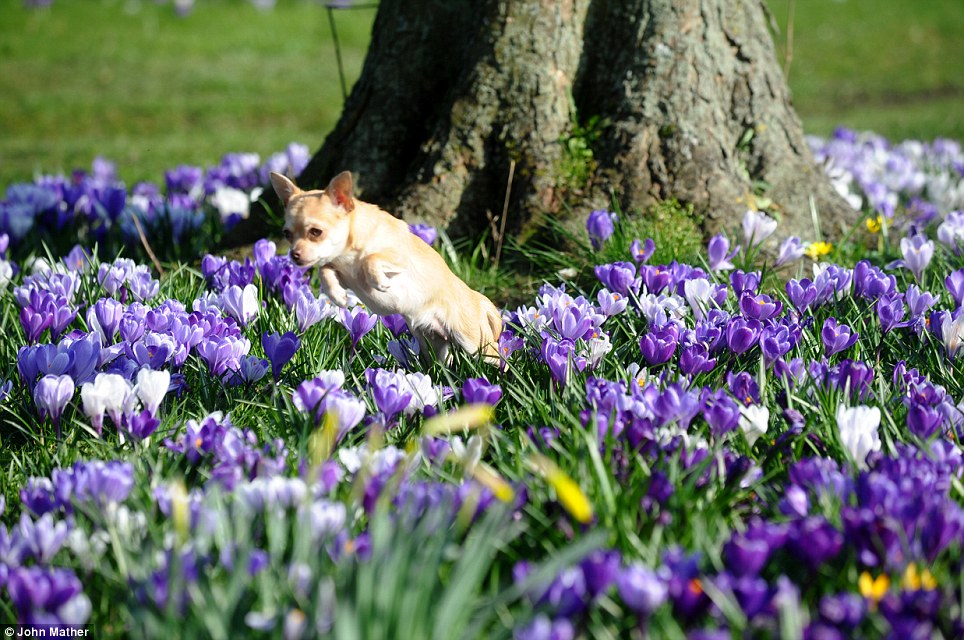 Britain's blooming: In York, temperatures rose to 17C as a chihuahua had to leap over crocuses nearly as tall as her in the museum gardens this morning