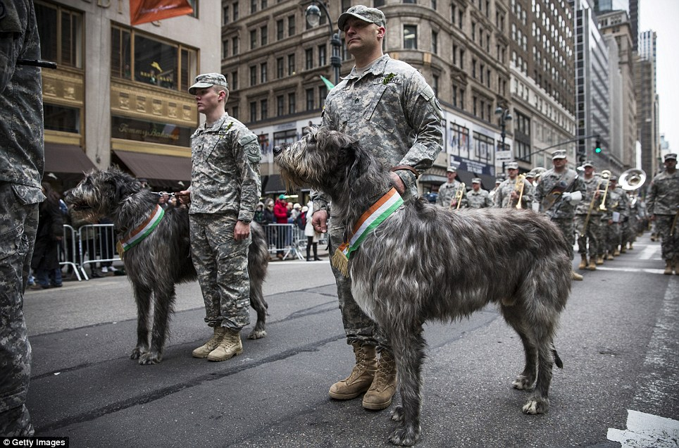 St Patrick's favourite hounds? The Irish Wolfhounds in the New York parade had an extra dash of Irishness for the day