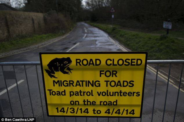 Over the frog: This road in Richmond in south west London has been sealed off to allow breeding toads to make their way across the road safely