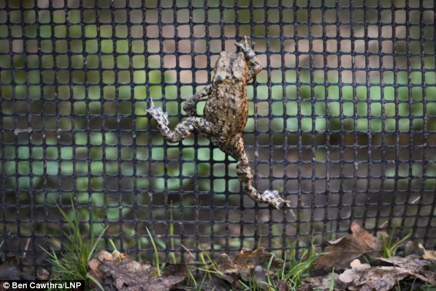 Great escape: A toad attempts to scale the fence preventing it from entering the road