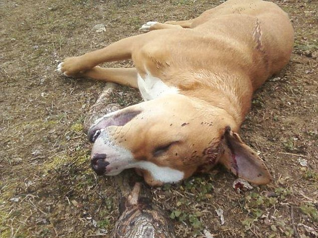 Killed: Tank, a one-year-old Labrador-pit bull mix, was shot after he escaped from his house
