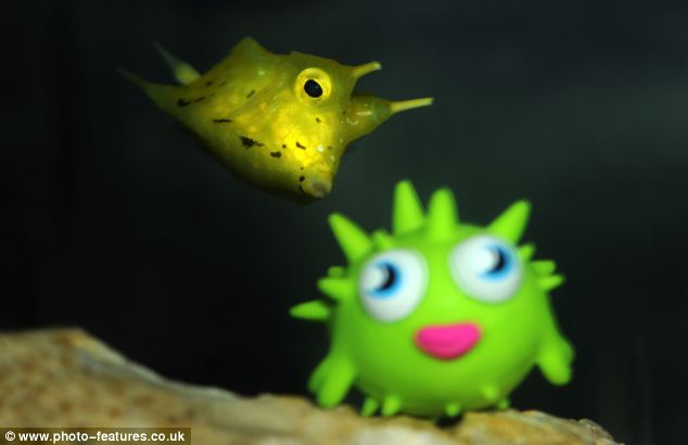 Curators think Bess may have become confused by the spikes on Blurp, and thought he was another boxfish