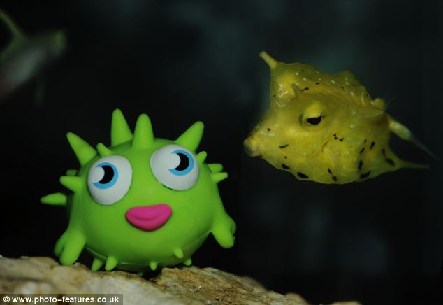 Keepers at Great Yarmouth Sea Life Centre think Bess the boxfish has fallen in love with a plastic toy placed in her enclosure after mistaking it for a member of her own species