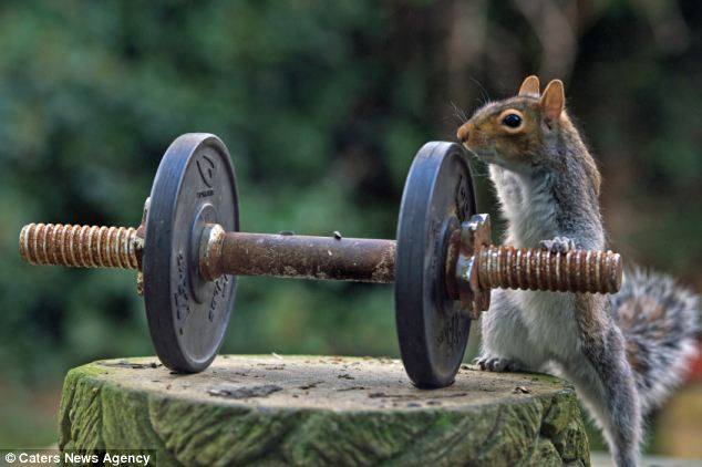 Flexing his muscles: The brave squirrel sizes up a particularly heavy-looking weight