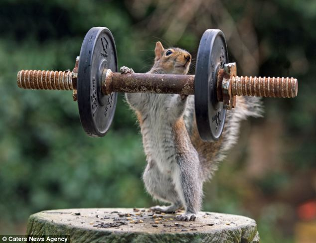 Lift me up: The squirrel appears to pick up the weight - and even looks shocked at his own ability