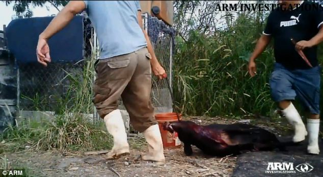 Torture: The pig was squealing after it was shot and dragged more than 150 by a hook through its jaw
